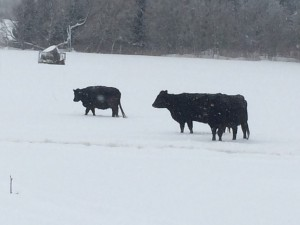 Black Angus cattle winter 2014/15