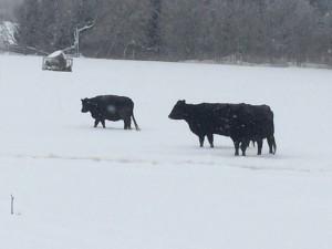 Black Angus cattle winter 2014/15