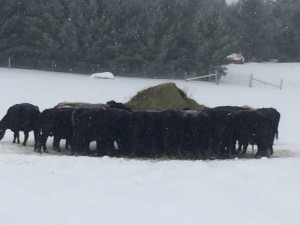 Black Angus cattle winter 2015